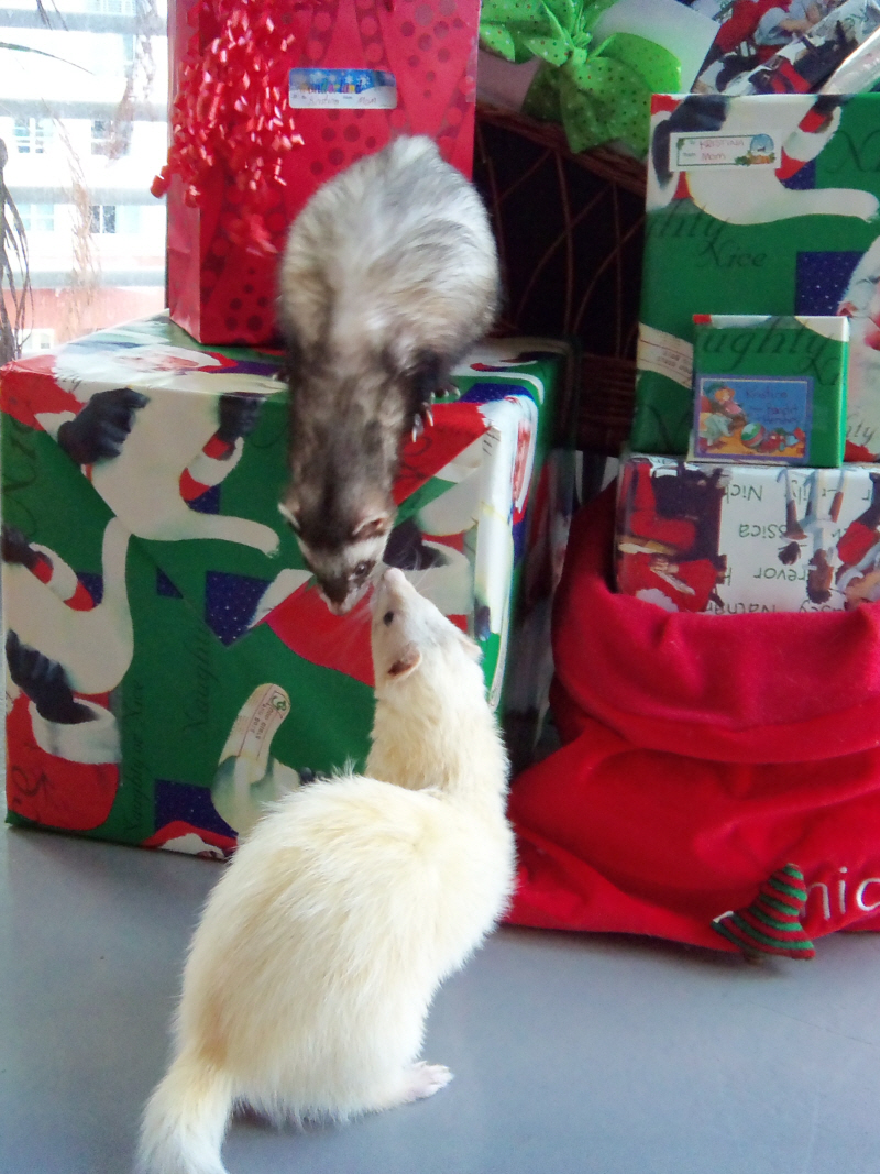 Christmas Ferret.All A Ferret Wants For Christmas Miami Daily Photo