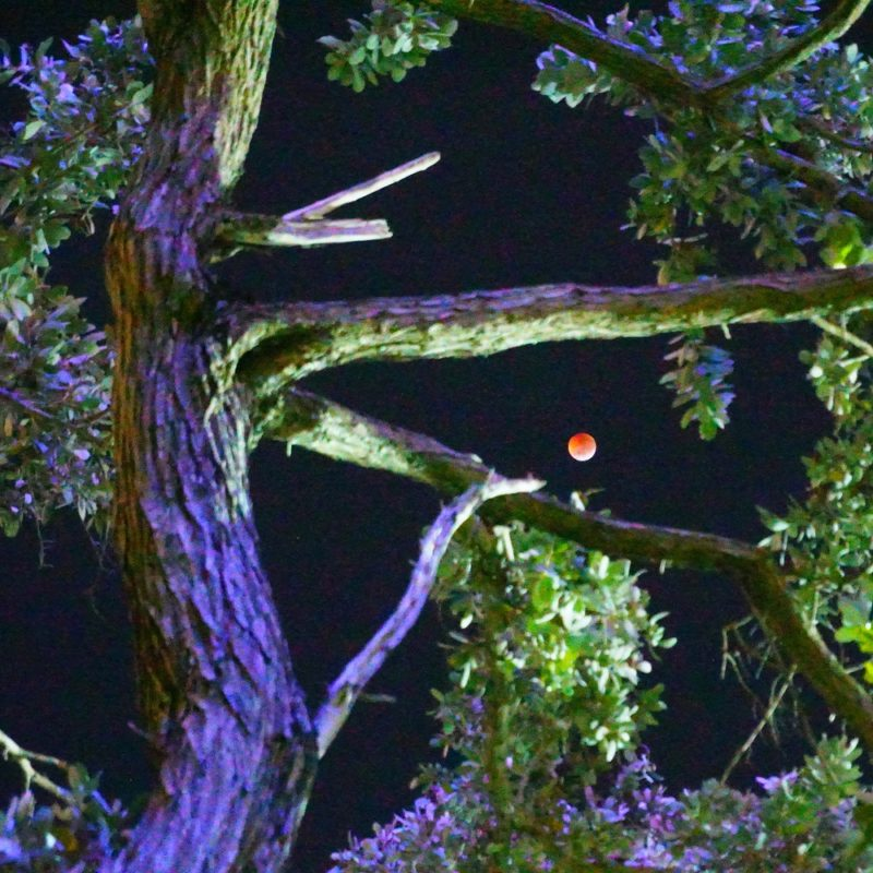 Super Blood Wolf Moon photographed through the trees at Bayfront Park in Downtown Miami