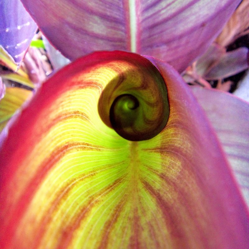 Close-up of a canna lily variegated leaf unfurling