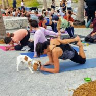 Crowd of people doing yoga on the plaza. Woman in the foreground doing 'lizard pose' while her spaniel puppy is licking her hand.