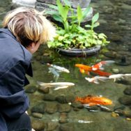 Three-quarter view of someone crouching, watching gold and white Koi in a pond