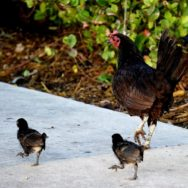 Mother hen with her chicks walking on the sidewalk in the park