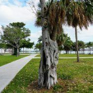 Banyan tree growing up & around the trunk of a palm tree at Maurice A. Ferré Park in Downtown Miami