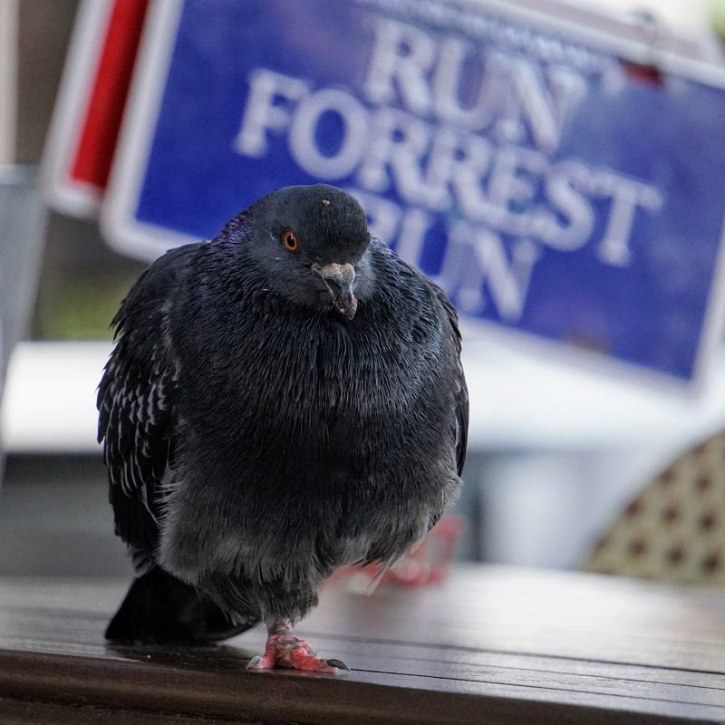 "dark grey one-legged pigeon perched on a table with a ""Run Forrest Run"" sign visible in the background"